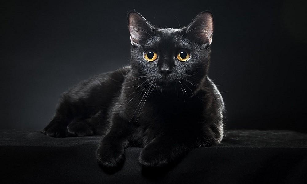 6c628929d3d Os gatos de cor preta andam a ser cada vez mais rejeitados por potenciais  donos – pelo menos é o que as associações de apoio a animais britânicas  referem.
