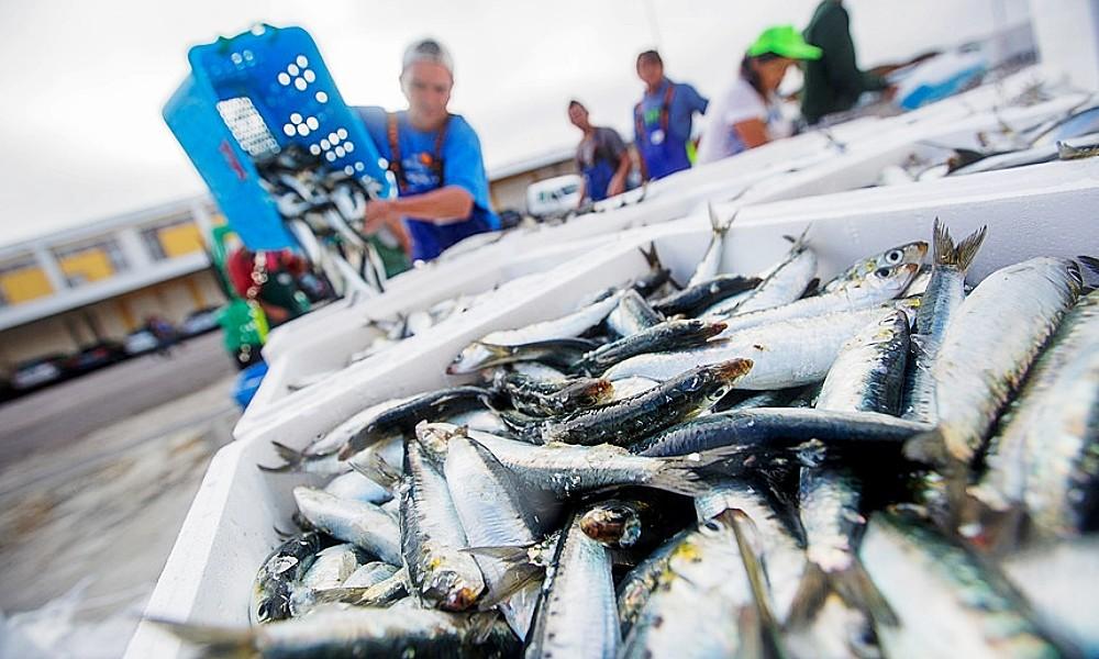 Resultado de imagem para Governo revoga permissão de pesca de sardinha misturada com outras espécies