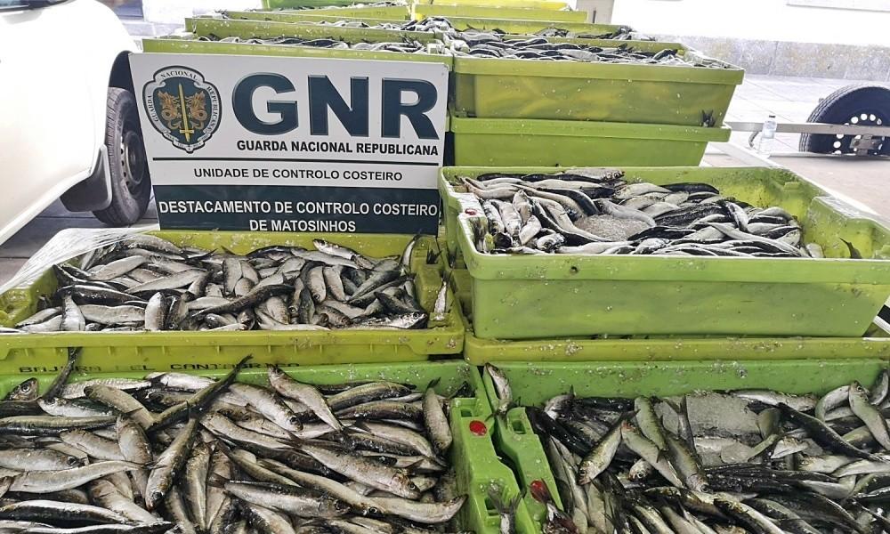 MATOSINHOS: GNR APREENDE 2.700 QUILOS DE SARDINHA NO PORTO DE ...